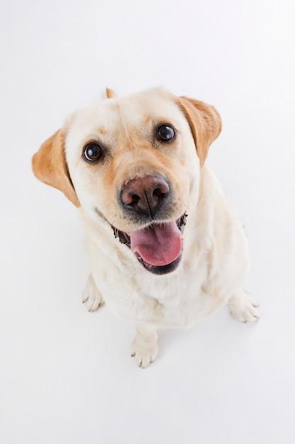 Labrador retriever Photo gratuit