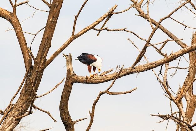 Lac Baringo L'aigle Pêcheur Dévore Les Poissons Kenya Photo Premium