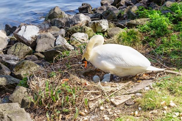 Lady swan assis dans un nid protégeant ses oeufs Photo Premium