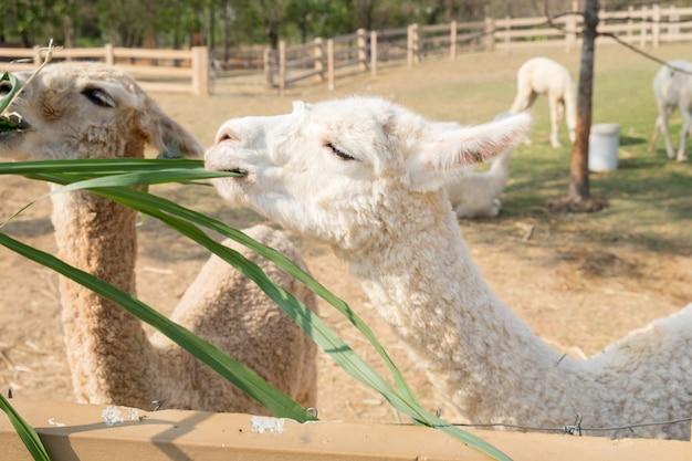 Laine d'alpaga blanche mangeant de l'herbe Photo Premium