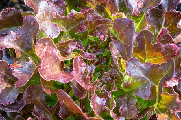 Laitue chêne rouge Photo Premium