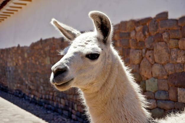 Lama Blanc Regarde De Près La Caméra Sous Le Soleil Dans Les Rues De Cusco, Pérou Photo Premium