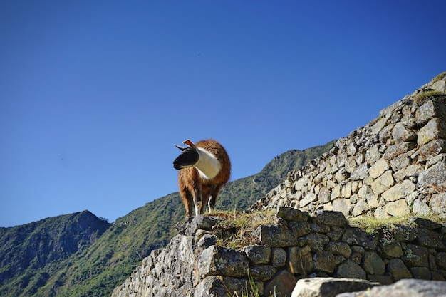 Le lama debout sur la pierre à machupicchu. Photo Premium