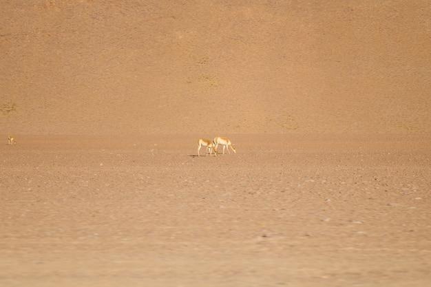 Lamas de la réserve nationale de faune andine eduardo avaroa en bolivie Photo Premium