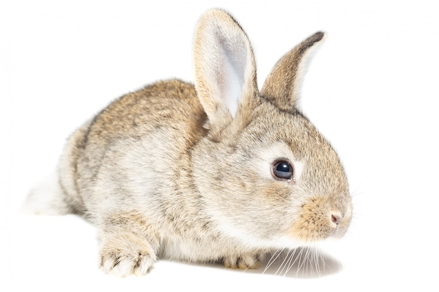 Lapin sur fond blanc Photo Premium