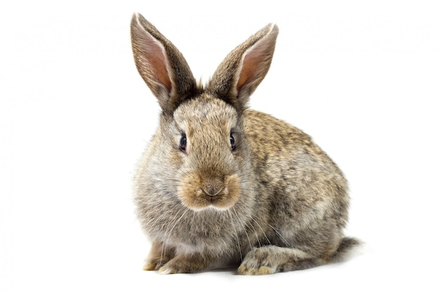 Lapin moelleux gris, isoler, petit lapin de pâques Photo Premium