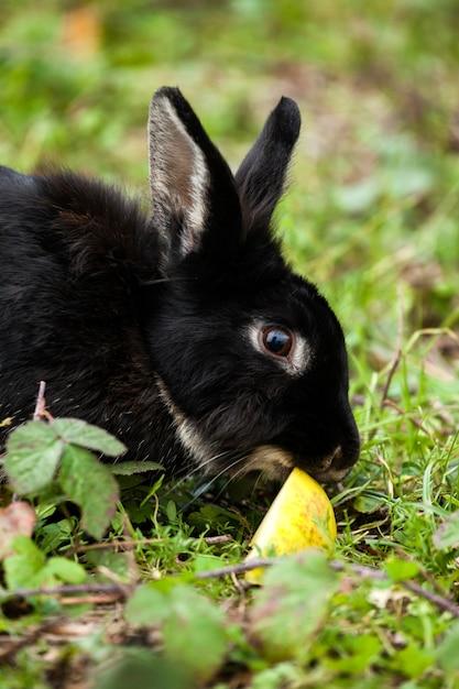 Lapin noir mange une pomme Photo Premium