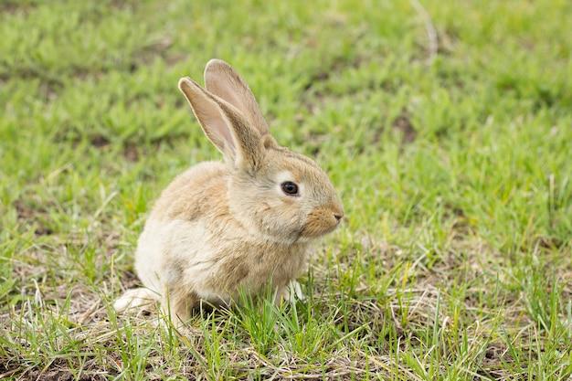 Lapin sur un pré de fleurs. lièvre sauvage dans la prairie se bouchent Photo Premium