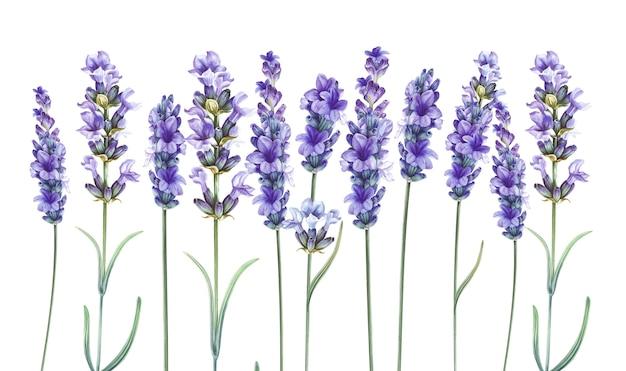 Lavandula à base de plantes aromatiques. Photo Premium