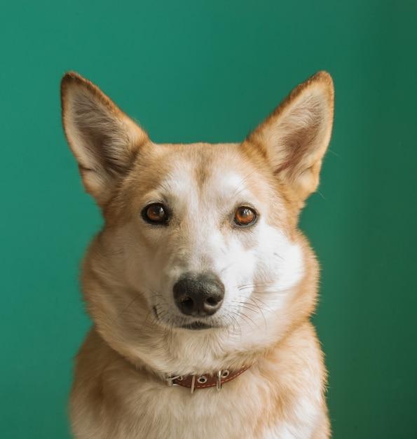 Layka chien husky. portrait détaillé sur fond bleu. Photo Premium