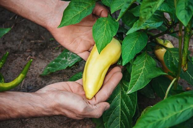 Légumes biologiques faits maison entre les mains de poivrons mâles. Photo Premium