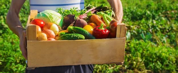Légumes Maison Dans Les Mains Des Hommes. Récolte. Mise Au Point Sélective. Photo Premium