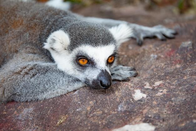 Lémur catta dans la nature sauvage. lemur catta close up portrait. Photo Premium