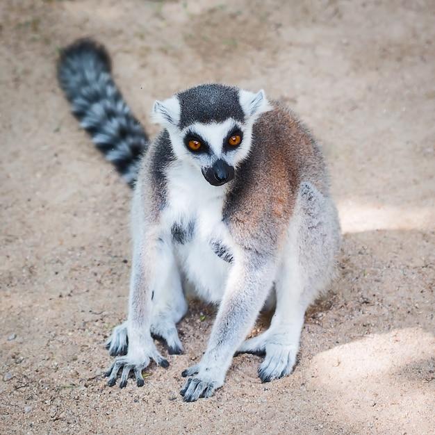 Lemur catta. Photo Premium