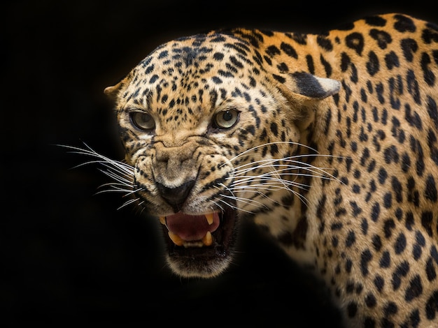 Le léopard rugit sur le noir. Photo Premium