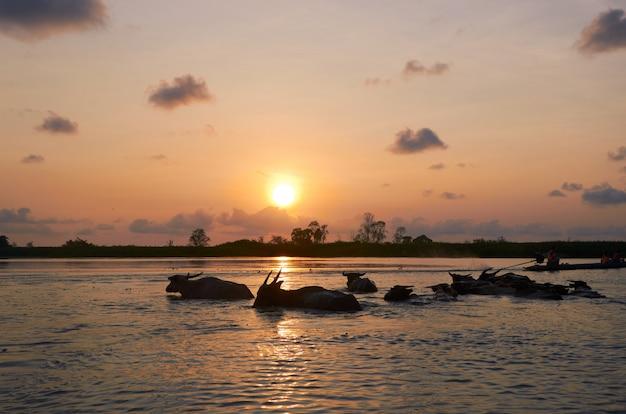 Lever du soleil et les buffles dans l'eau au sanctuaire de la faune de thalenoi, phattalung, thaïlande. Photo Premium
