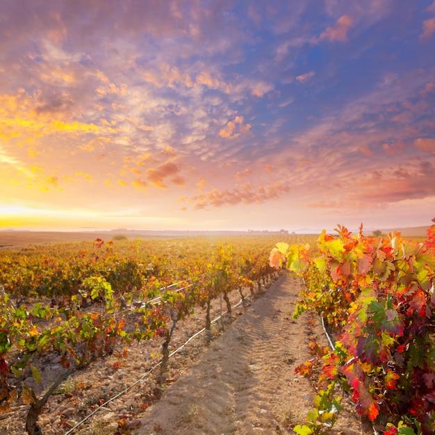 Lever du soleil dans les vignobles à utiel requena spain Photo Premium