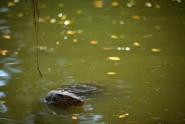 Un lézard asiatique surveillant de l'eau nage dans un étang Photo Premium