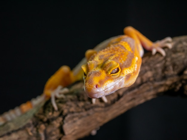 Lézard gecko orange sur bois, gros plan animal. Photo Premium