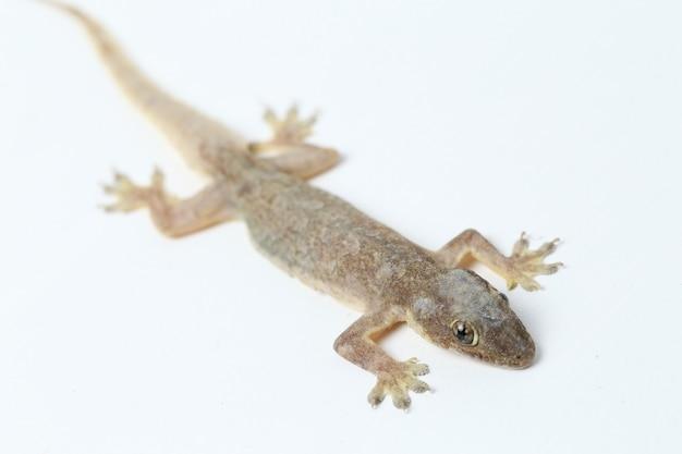 Lézard De Maison Asiatique Ou Gecko Commun Isolé Photo Premium