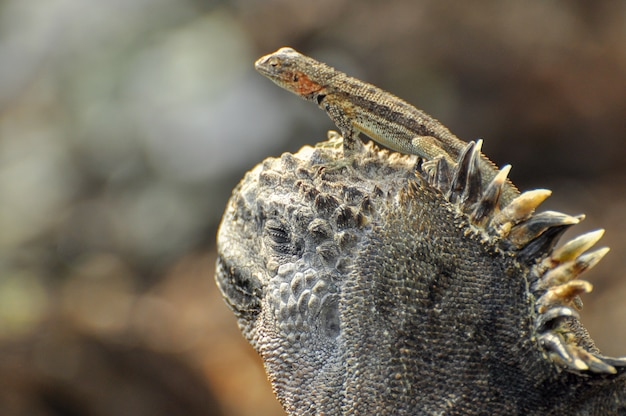 Un Lézard Sur La Tête D'un Iguane Marin Photo Premium