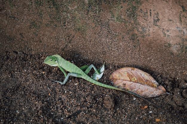 Lézard vert, caméléon en marche Photo gratuit