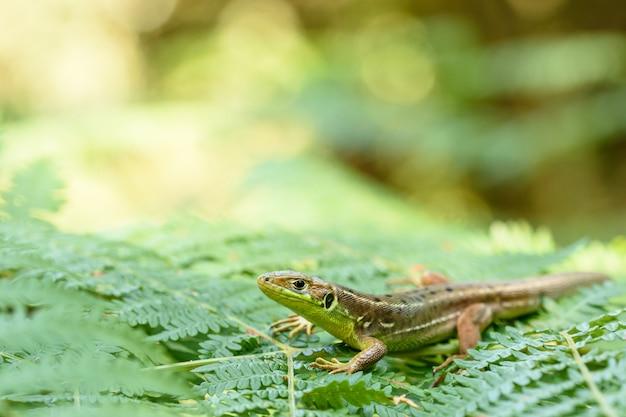 Lézard vert européen dans la nature Photo Premium