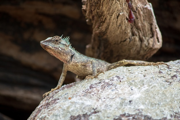 Lézards sur des rochers Photo Premium