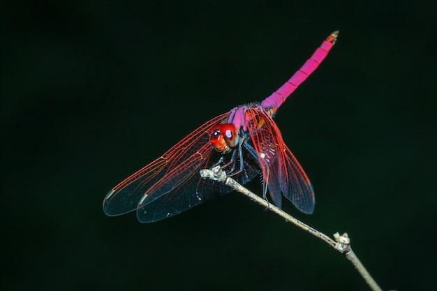 Libellule rose, sur, bambou bâton, dans, forêt, à, thaïlande Photo Premium