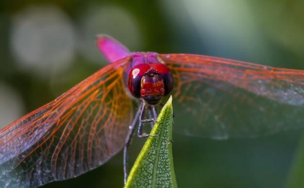 Libellule Rouge Sur Plante Close Up Photo gratuit