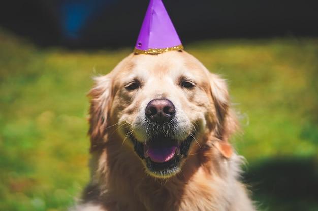 Libre D'un Golden Retriever Souriant Avec Un Chapeau D'anniversaire Un Jour De Suuny à Golden Gate Park, Sf Ca Photo gratuit