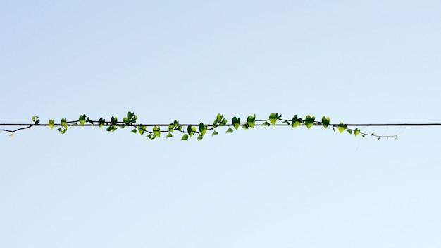 Lierre de plantes, vigne d'escalade sauvage sur fil électrique sur fond de ciel bleu Photo Premium