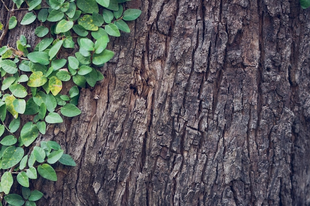 Lierre tendu jusqu'à l'écorce des arbres donnant un sentiment naturel populaire pour décorer le jardin Photo Premium
