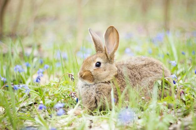 Lièvre sauvage dans un pré en fleurs au printemps. Photo Premium