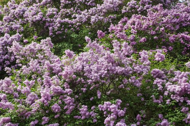 Lilas à floraison printanière Photo Premium