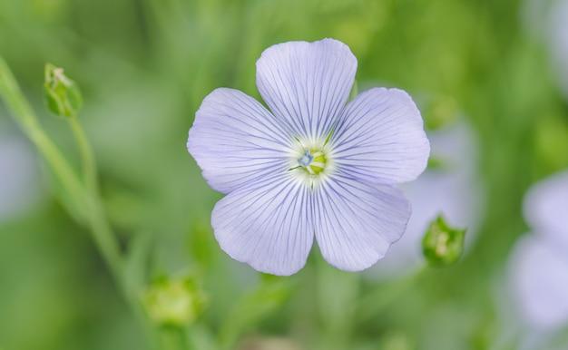 Linum Perenne (lin Vivace). Fleurs Bleues De Lin Photo Premium
