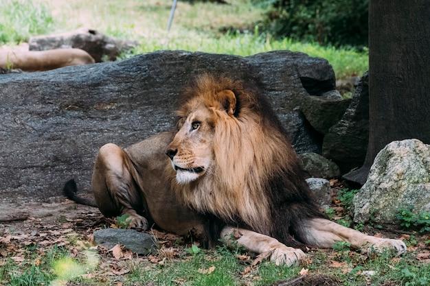Lion au zoo du bronx. new york Photo Premium
