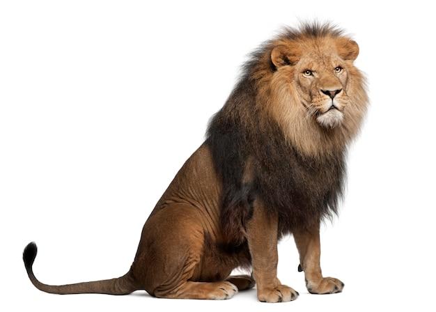 Lion Sur Blanc Dans Un Studio Photo Premium