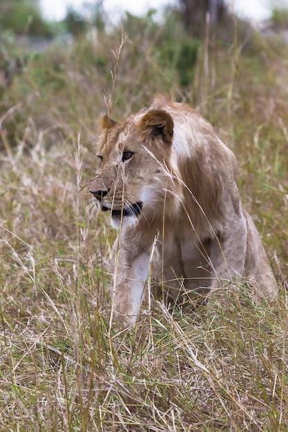 Lion Chasse Jeune Lion Dans L'herbe épaisse Kenya Afrique Photo Premium