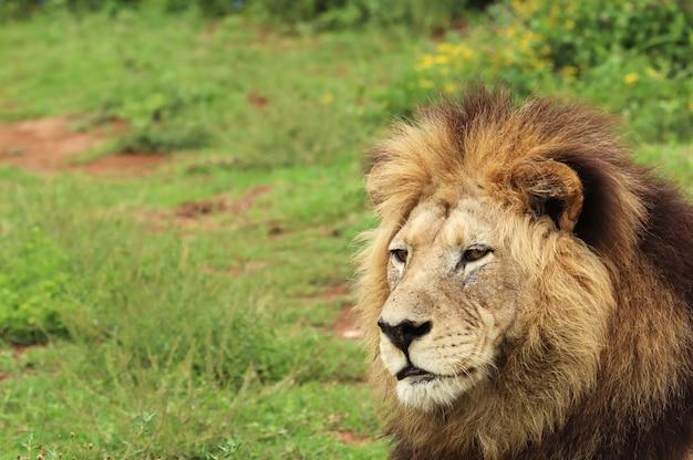 Lion à Fourrure Marchant Dans Le Parc National Des éléphants D'addo Pendant La Journée Photo gratuit