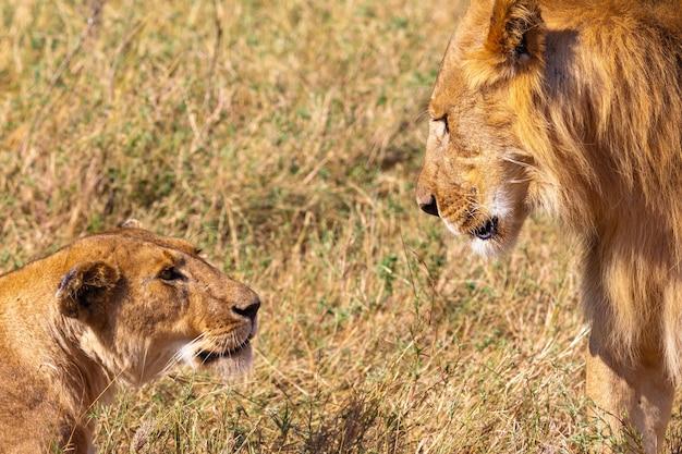 Un Lion Et Une Lionne Dans Le Masai Mara Kenya Afrique Photo Premium