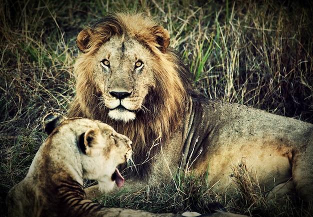 Lion et lionne Photo gratuit