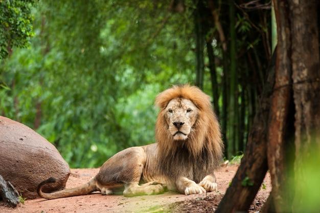 Lion Mâle Au Zoo Photo Premium
