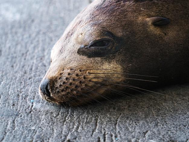 Le Lion De Mer Des Galápagos Sur Isla De La Plata, Equateur Photo gratuit