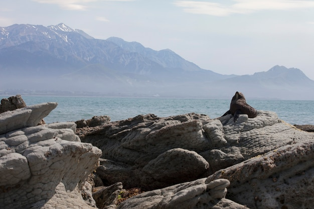 Lion De Mer Noire à Kaikoura, Nouvelle-zélande Photo Premium