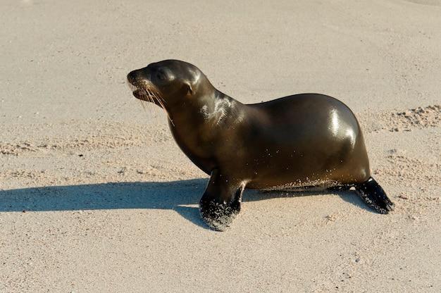 Lion de mer sur la plage, punta suarez, île d'espanola, îles galapagos, équateur Photo Premium