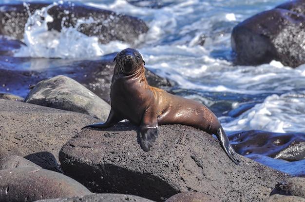 Lion de mer sur un rocher Photo Premium