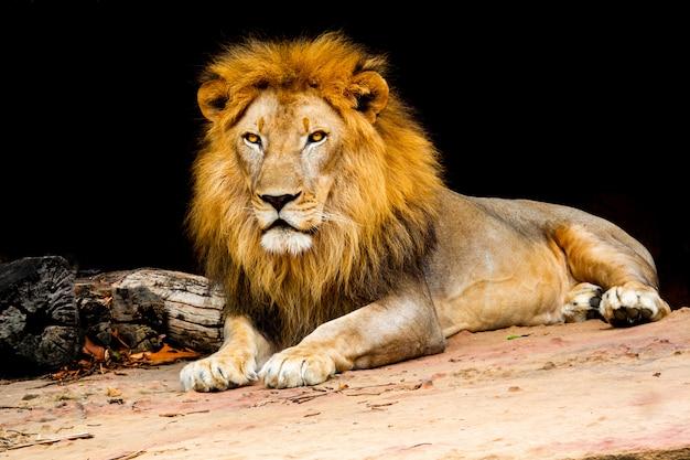 Lion Sur La Nature De La Pierre, Le Lion Est Un Type De Chat De La Faune Des Mammifères Photo Premium