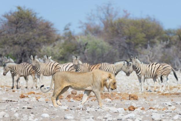 Lion et zèbres. faune dans le parc national d'etosha, namibie, afrique. Photo Premium