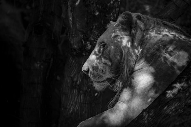 Lion Photo gratuit